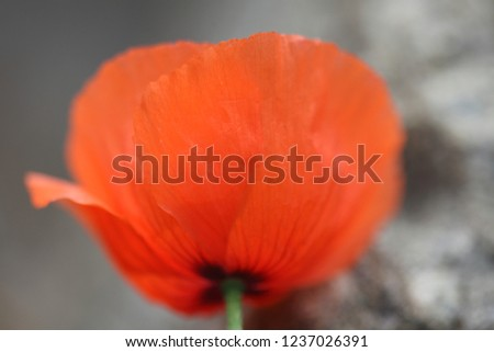 Beautiful and cute picture of poppy blooming in the wild
