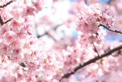 Beautiful and cute pink cherry blossoms (sakura) against blue sky, wallpaper background, soft focus