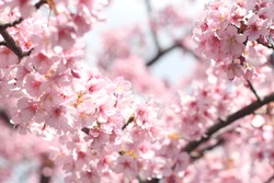 Beautiful and cute pink cherry blossoms (sakura flowers), wallpaper background, soft focus, Tokyo, Japan