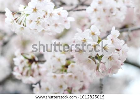 Beautiful And Cute White And Pink Cherry Blossom Flowers Sakura