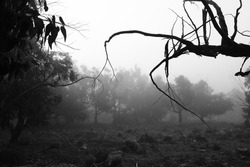 Beautiful and dark Eucalyptus forest covered by fog in the morning in Spain