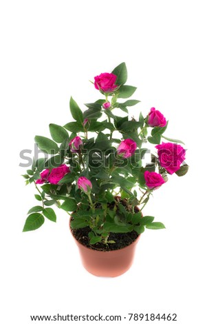 Beautiful and delicate pink rose in a pot #789184462