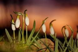 Beautiful and delicate spring snowdrop flowers (Galanthus nivalis) growing in the grass during sunset