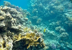 beautiful and diverse  coral reef and fish of  sea