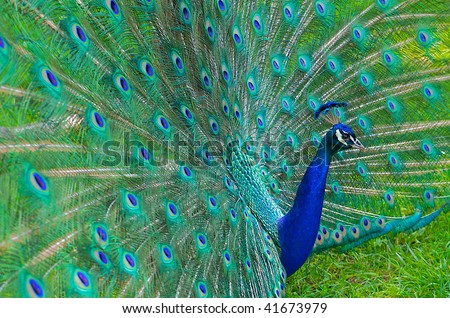 Beautiful and elegant male peacock with tail feathers spread out.