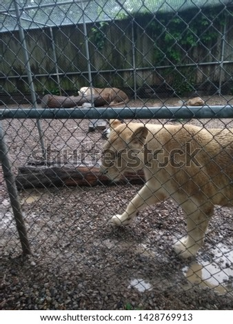 Beautiful and fierce White Lion in an enclosure #1428769913