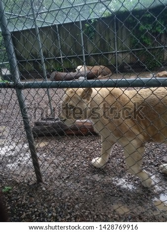 Beautiful and fierce White Lion in an enclosure #1428769916