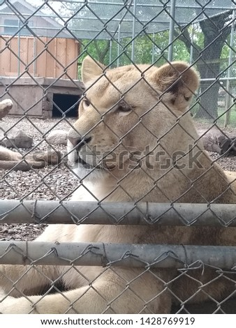 Beautiful and fierce White Lion in an enclosure #1428769919