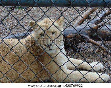 Beautiful and fierce White Lion in an enclosure #1428769922