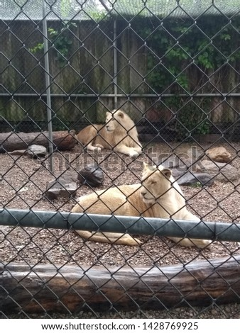 Beautiful and fierce White Lion in an enclosure #1428769925
