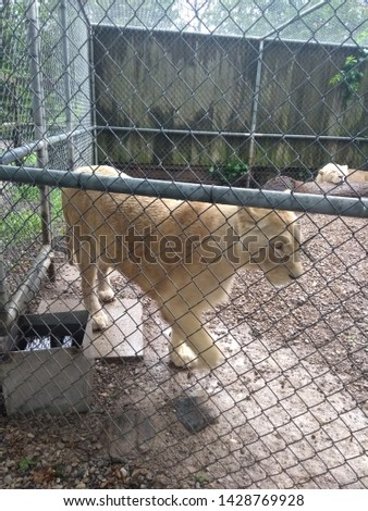 Beautiful and fierce White Lion in an enclosure #1428769928