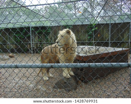 Beautiful and fierce White Lion in an enclosure #1428769931