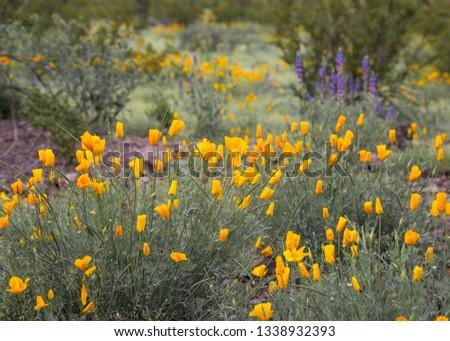 beautiful and fragrant wildflowers growing in tucson arizona, blooming wild flowers