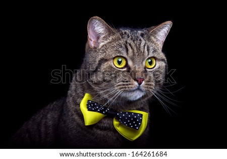 Stock Photo Beautiful and Funny british cat on a black background