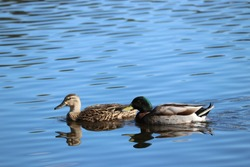 Beautiful and graceful mallard duck male and female couple gliding across reflecting blue lake water on a clear bright sunny day.