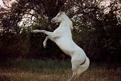beautiful and handsome white horse with long mane standing on back legs by the sunset shows his temperament