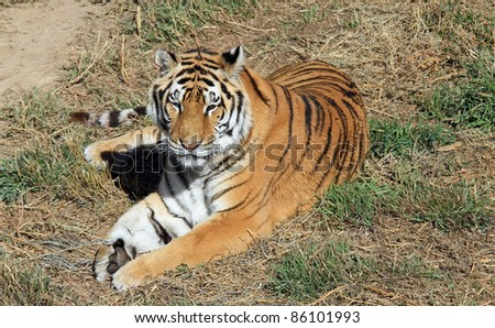 Beautiful and healthy wild tiger, enjoying the sunshine