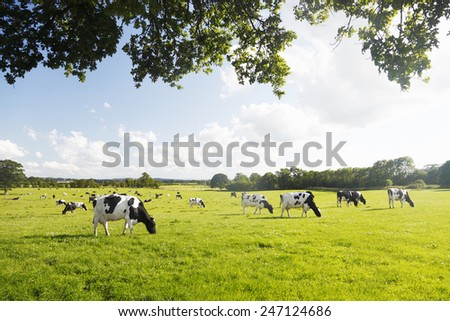 Beautiful and idyllic green grass with cattle happily grazing.