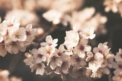 Beautiful and moody cherry blossom picture. Trendy toning, soft focus. Nature background.