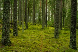 Beautiful and peaceful pine and fir forest in Sweden, with green moss covering the forest floor