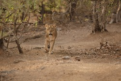 Beautiful and rare asiatic lion female in the nature habitat in Gir national park in India