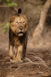 Beautiful and rare asiatic lion male in the nature habitat in Gir national park in India