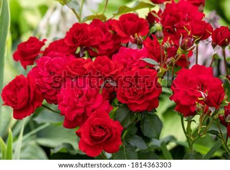 Beautiful and romantic red Rose Floribunda Nina Weibull bloom in the garden. Foto stock ©