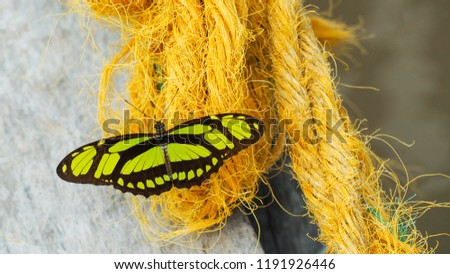 beautiful and  seldom seen amazon butterfly Dido Longwing