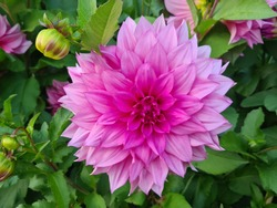 Beautiful and tender dahlia blooms in the  garden on a sunny day