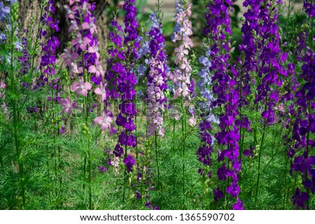 Beautiful and vivid landscape with flowers of Consolida regalis (Forking Larkspur, Rocket larkspur). Horizontal view, outdoor. Selective focus. Can be used as background #1365590702
