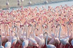 Beautiful and Wild - Flamingos