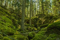 Beautiful and wild grown fir forest up a moss covered mountainside in Sweden, with moss on the forest floor and lush green trees