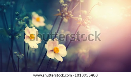 Beautiful anemone flowers on dark evening in rays of sunset sun close-up macro in nature. Delightful atmospheric airy artistic image with golden sun glare. Stockfoto ©