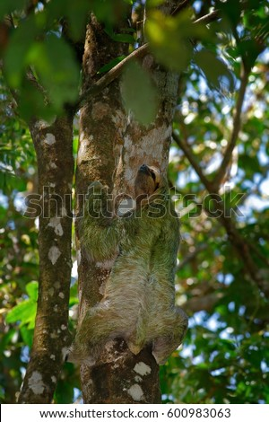 Beautiful animal in nature habitat. Sloth hidden in the dark green vegetation. Linnaeus's two-toed Sloth, Choloepus didactylus, from Costa Rica tropical forest.