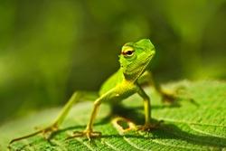 Beautiful animal in the nature habitat. Green Garden Lizard, Calotes calotes, detail eye portrait of exotic tropical animal in green nature habitat, Sinharaja, Sri Lanka.
