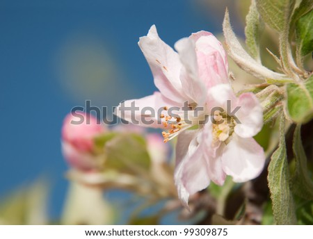 Beautiful apple blossom against blue sky in early spring - stock photo