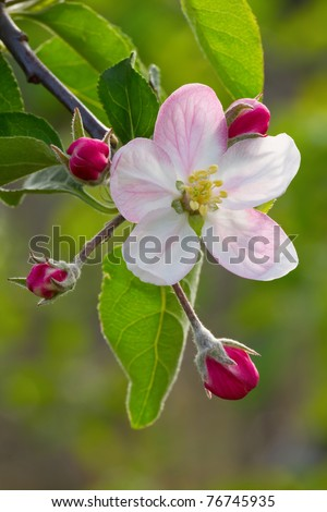 Beautiful apple flower with drop