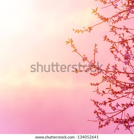 Beautiful apple tree blossom on pink sunset background, spring time season, bright sunny light, floral border