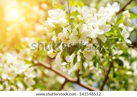 Beautiful apple tree branch with sun