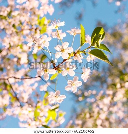Beautiful apple tree branch with sun. Beautiful apple tree branch. Blossom tree over nature background/ Spring flowers/Spring Background #602106452