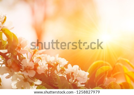 Beautiful Apple Tree Branch With Sun. Shiny Picture Of An Apple White Flowers.