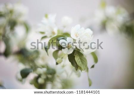Beautiful apple tree flowers / apple tree blossom.