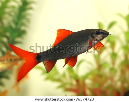 Beautiful aquarium fish red tail shark labeo bicolor for Red tail shark fish