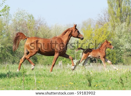 beautiful arabian mare and foal running on pasture