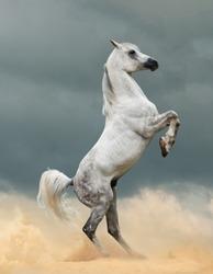 Beautiful arabian stallion in prairies