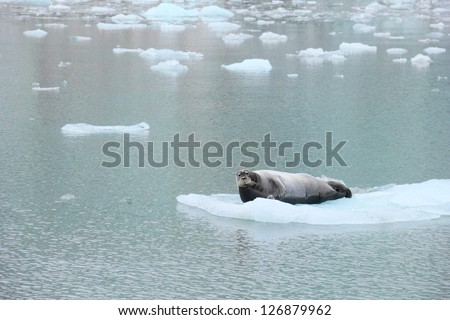Beautiful arctic image in grey and blue tones - Seal lying on the flake of ice in calm water surface of Istfjorden, Spitsbergen (Svalbard island), Norway, Northern Europe, Greenland Sea