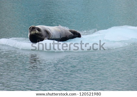 Beautiful arctic image - Sea lion lying on the flake of ice (view from cruise boat), Istfjorden, Spitsbergen archipelago (Svalbard Island), Norway, Greenland Sea