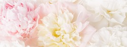 Beautiful aromatic fresh blossoming tender pink peonies texture, close up view. Romantic background