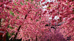 Beautiful artificial cherry blossoms. The pink cherry blossoms bloom beautifully on the tree. Background for presentations and articles or copy space. Selective focus