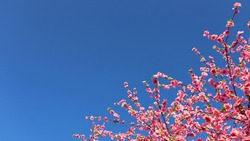 Beautiful artificial cherry blossoms. The pink Sakura flower blooms beautifully on the branches on the blue sky background with bright morning sun and has a copy space for text. Selective focus